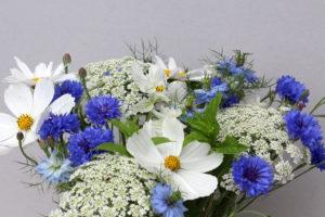 cornflowers, cosmos B49
